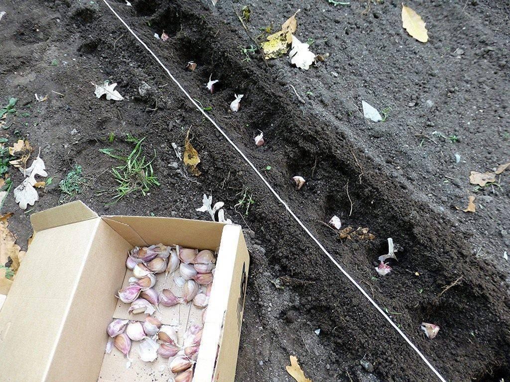 Чеснок: посадка весной в открытый грунт, технология выращивание, уход