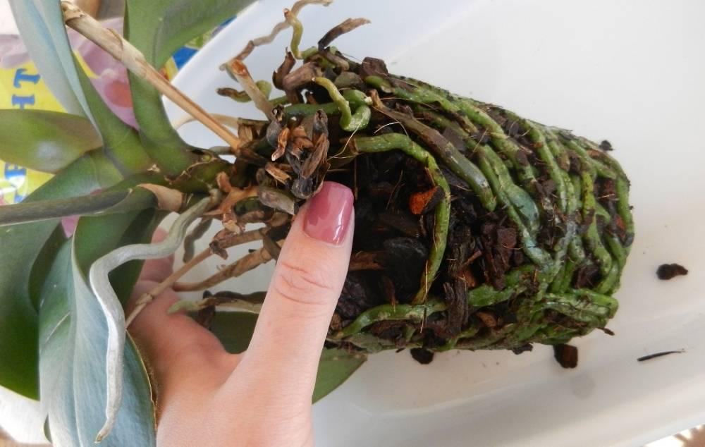 Как правильно пересадить орхидею фаленопсис