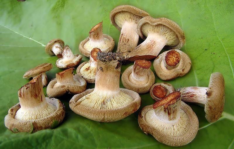 Осенние грибы— когда икакие пойдут, как отличить отопасных двойников
