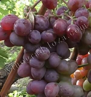 Описание черного винограда сорта кишмиш потапенко, посадка и выращивание