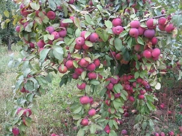 Яблоня пинова: особенности сорта и ухода