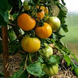 """Томат """"хурма"""": характеристика и описание сорта, урожайность, советы по выращиванию, фото помидор русский фермер"""