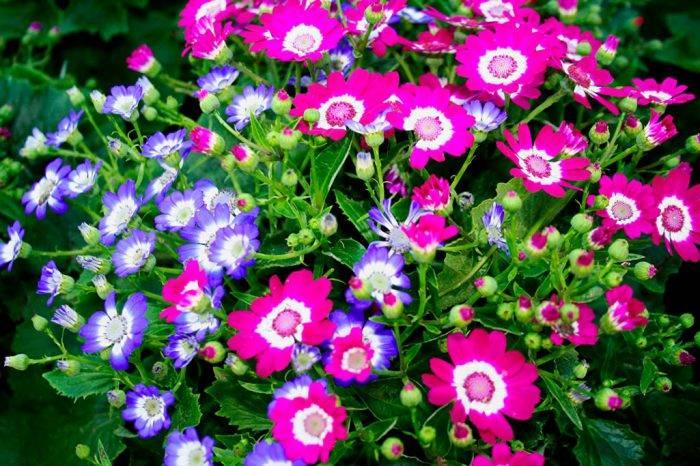 Цинерария комнатная - фото цветка, посадка и уход, грунт, выращивание из семян в домашних условиях