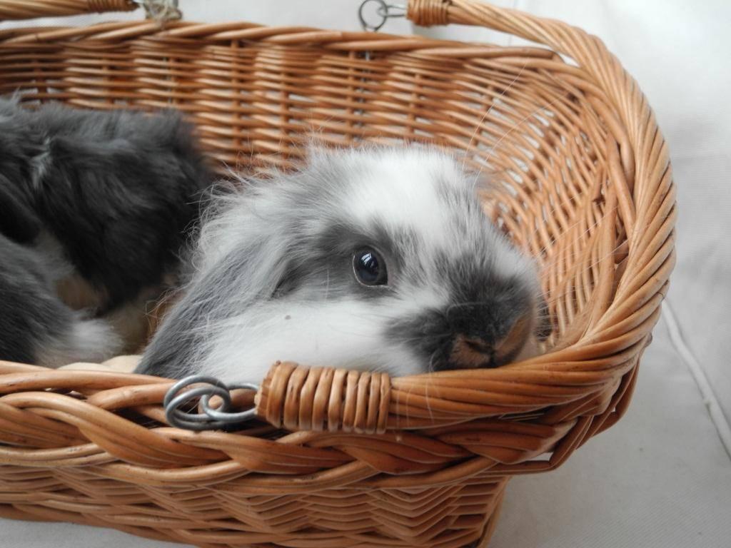 Прививки кроликам: какие и когда делать, вгбк, миксоматоз, инструкция