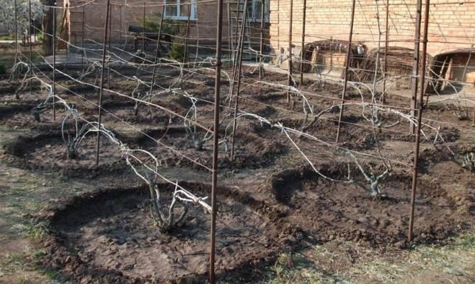 Укрытие винограда на зиму - этапы, каким сортам это надо?