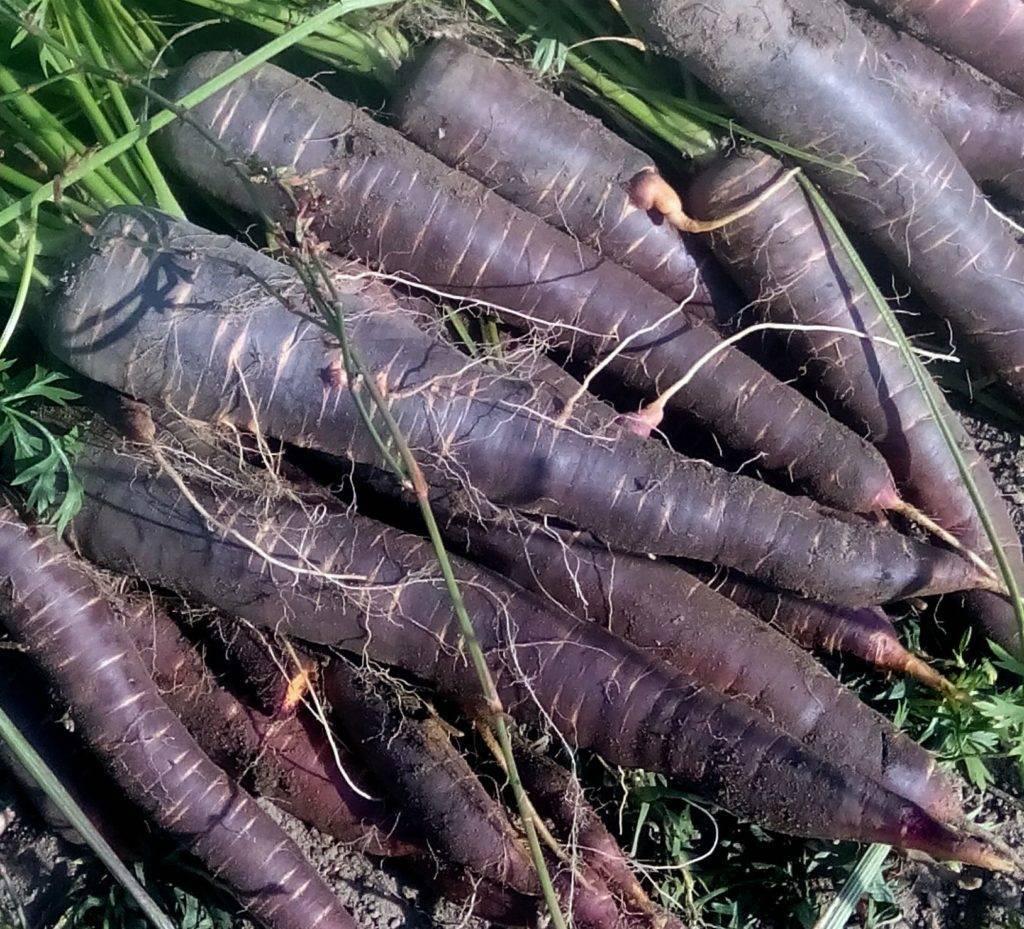 Черная (фиолетовая) морковь: выращивание в открытом грунте