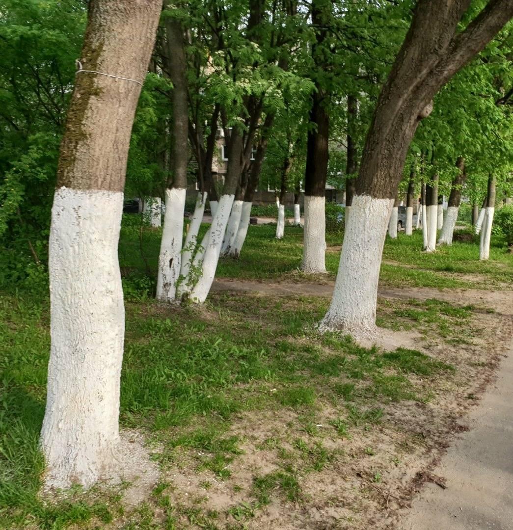 Побелка деревьев: зачем, когда и как производить побелку? осенняя и весенняя побелка плодовых деревьев