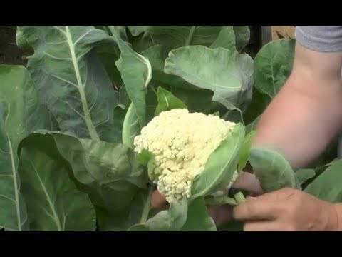 Как вырастить цветную капусту: почему не завязываются кочаны на огороде, что делать, чтобы это произошло, какую любит агротехнику и уход на даче в открытом грунте?