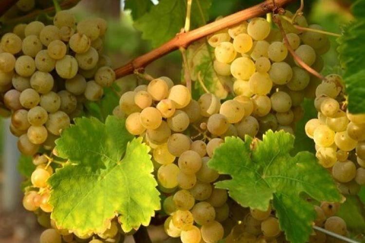Описание винограда минский розовый - мыдачники