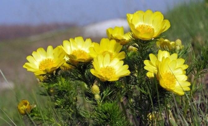 Адонис: фото и описание, выращивание, уход