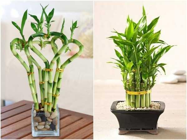 Как вырастить комнатный бамбук: фото, видео, посадка, размножение, уход