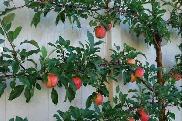 Сорт яблони заветное: посадка, уход и профилактика заболеваний