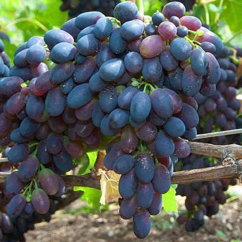 Описание сорта винограда кодрянка: фото, видео и отзывы | vinograd-loza