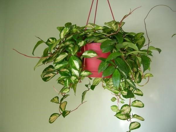 Почему не цветёт хойя или восковой плющ, что делать? selo.guru — интернет портал о сельском хозяйстве