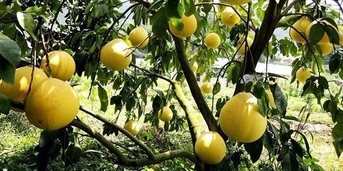 Помело: как правильно выбрать, почистить и съесть фрукт
