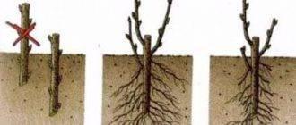 Размножение яблони черенками: основные тонкости процедуры