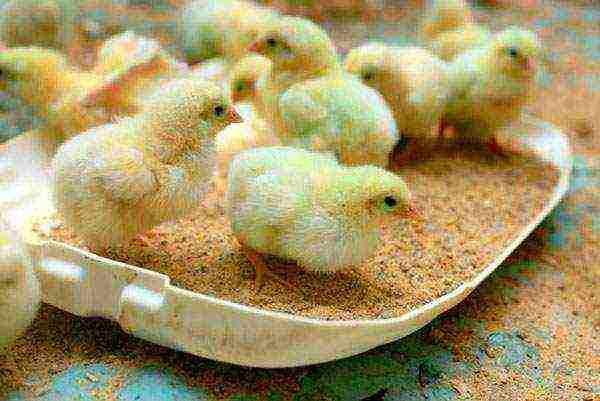 Чем кормить суточных цыплят в домашних условиях