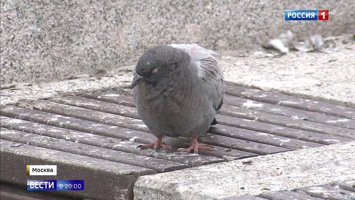 Оспа у голубей: как лечить и какие меры профилактики