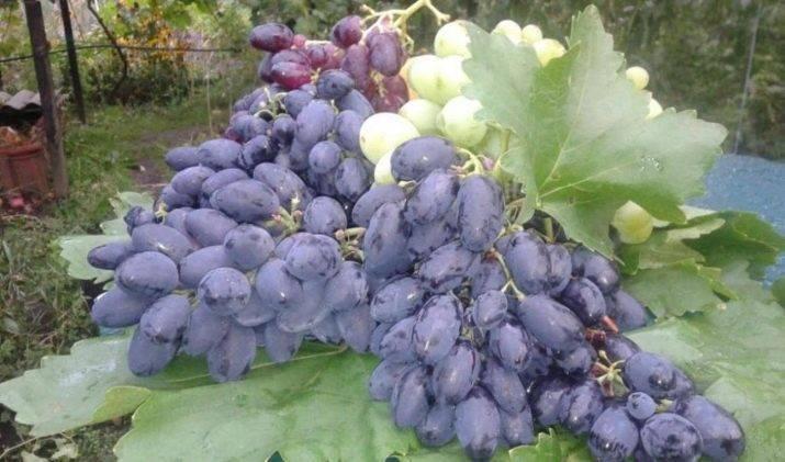 Северный виноград (19 фото): описание сортов «северный сладкий» и «синий северный» для северных широт россии, отзывы