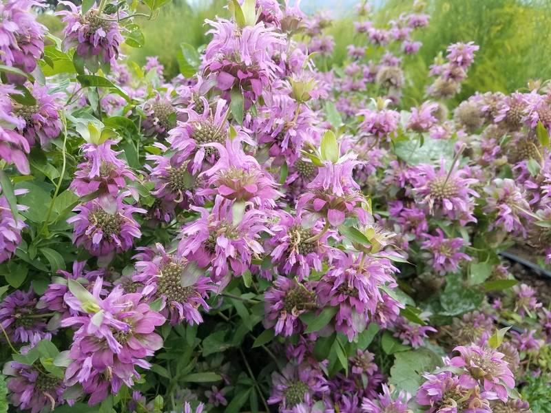 Цветок монарда: выращивание из семян, посадка и уход в открытом грунте и целебные свойства