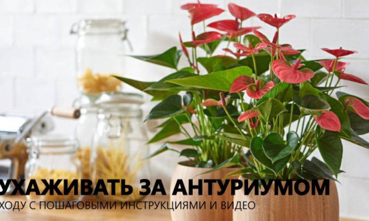 Как правильно пересадить антуриум в домашних условиях?