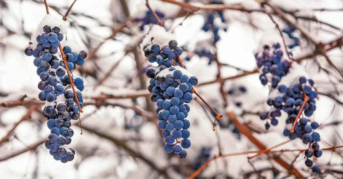 Виноград столетие: описание, урожайность, выращивание и отзывы