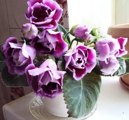 Глоксиния домашняя - фото, уход, выращивание из семян