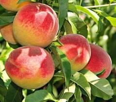 Персик «ред хевен»: высокопродуктивный популярный сорт
