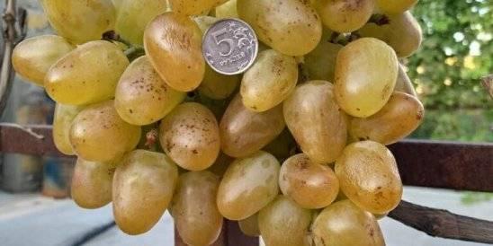 Всё о сорте винограда «виктор» от особенностей выращивания до фото и отзывов о нем
