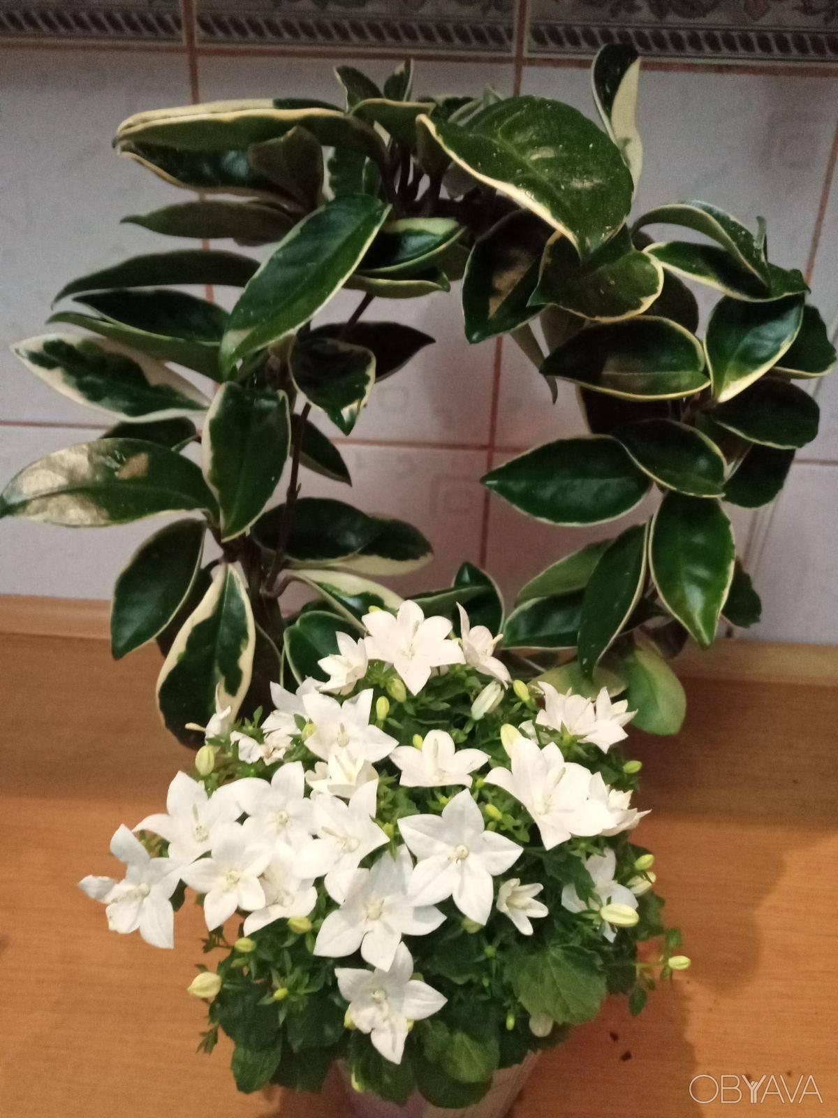 Хойя макрофилла (hoya macrophylla): описание видов альбомаргината, пот оф голд, сплеш, variegata и bai bur, а также способы выращивания и ухода за растениемдача эксперт