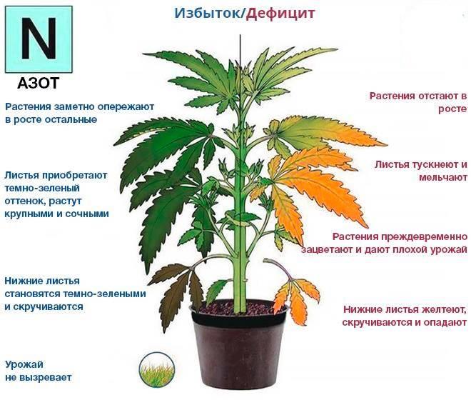 Желтеют листья у баклажан: что делать, причины, лечение