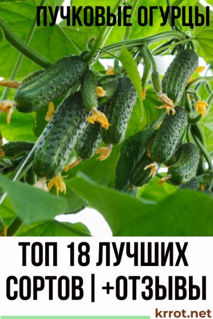 Сорт огурцов кузнечик отзывы