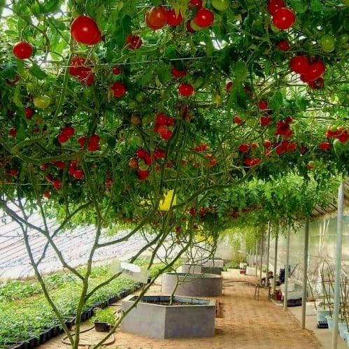 Как вырастить томатное дерево в домашних условиях и открытом грунте