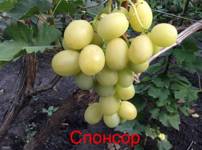 Виноград спонсор: описание сорта, подробные характеристики и фото selo.guru — интернет портал о сельском хозяйстве