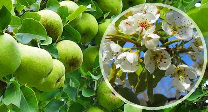 Описание и характеристики 45 лучших сортов груш, как выбрать