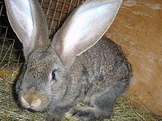 Немецкий кролик ризен: характеристика и описание породы, разведение и уход
