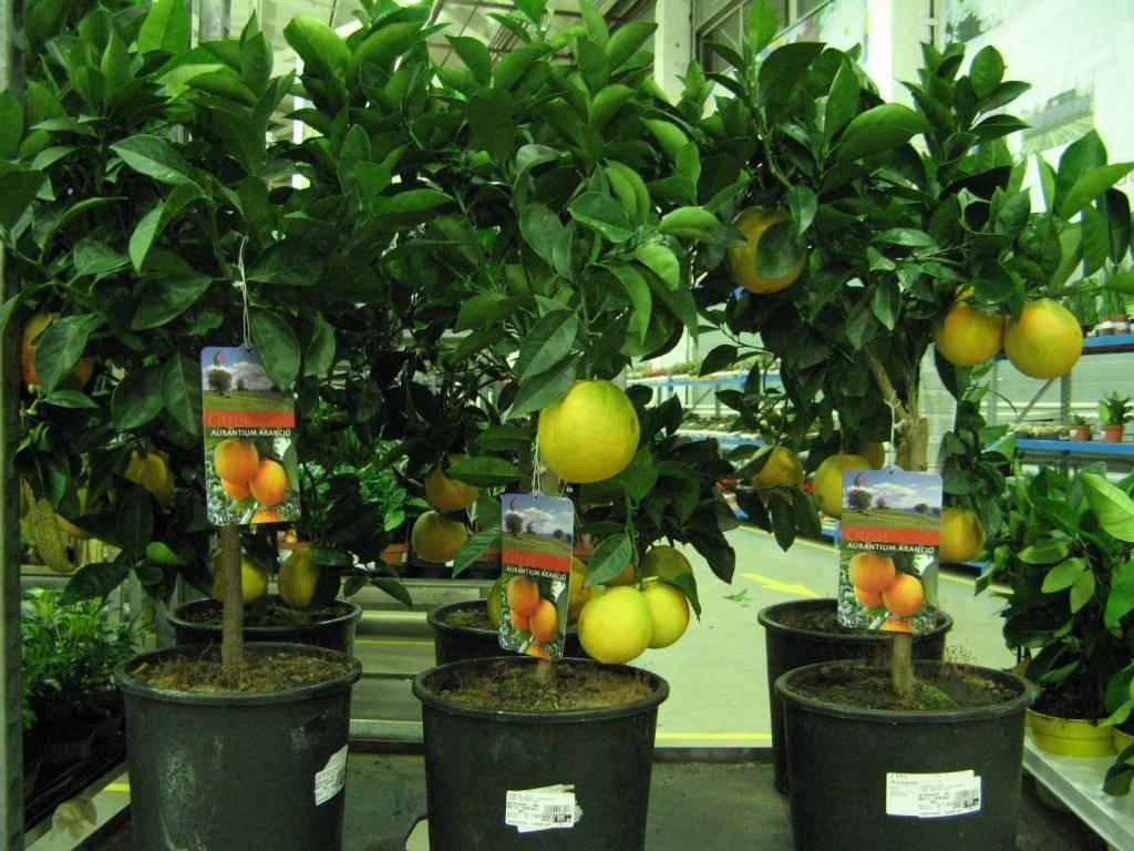 Лимон лисбон: описание сорта - сельская жизнь