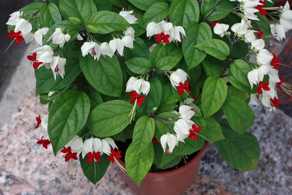 Почему не цветет клеродендрум? уход в домашних условиях. фото — ботаничка.ru