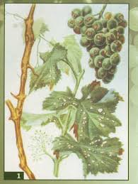 Антракноз винограда: как выявить и чем лечить + фото