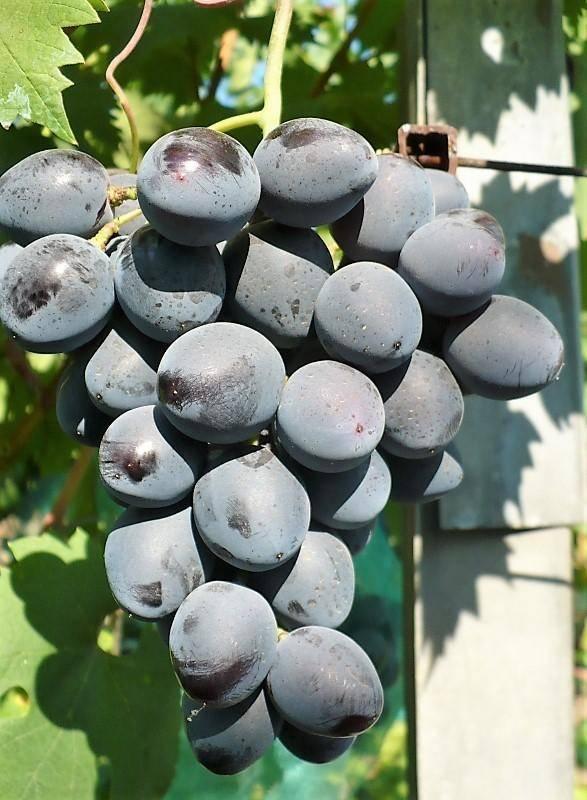 Виноград руслан: описание сорта, фото, отзывы