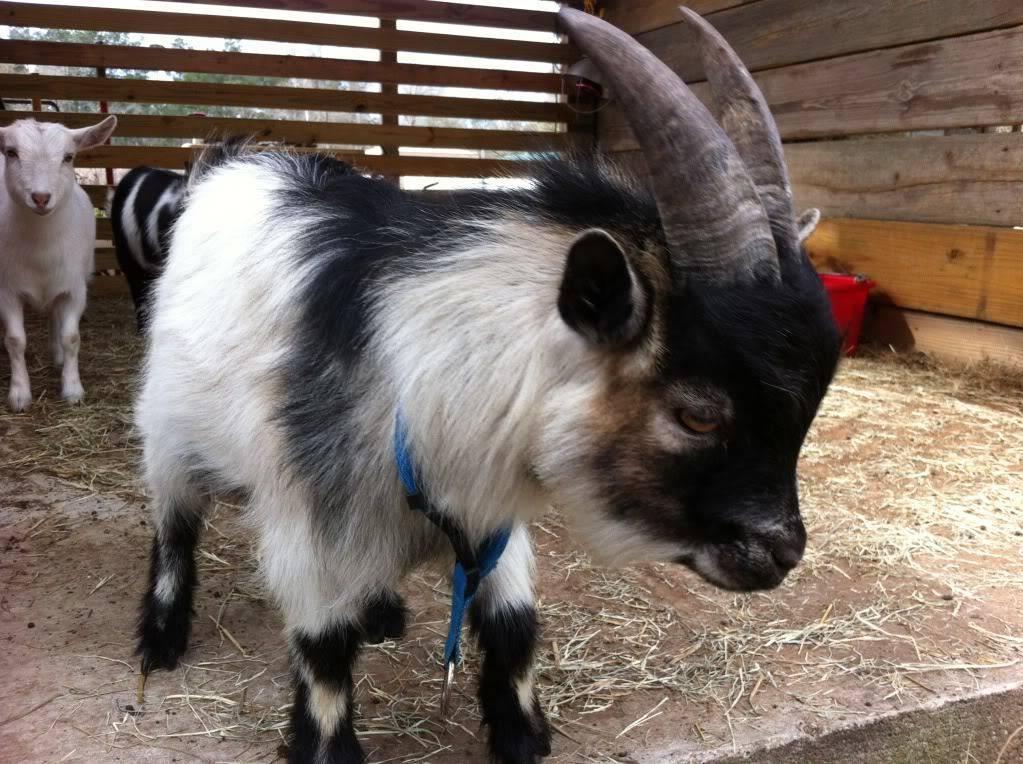 Камерунские козы: особенности содержания и ухода