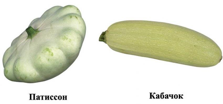 Отличия кабачка от патиссона