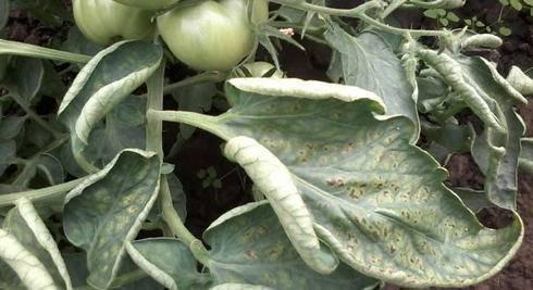 У томатов скручиваются листья – что делать, в теплице, открытом грунте, на подоконнике