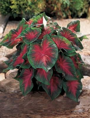 Пестролистные домашние растения фото и названия