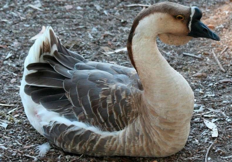 От чего зависит яйценоскость гусей и почему гуси перестали нестись