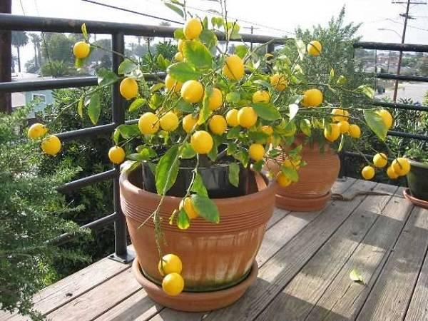 Как вырастить лимон из косточки в домашних условиях: выращивание, посадка и уход – 4 сезона огородника