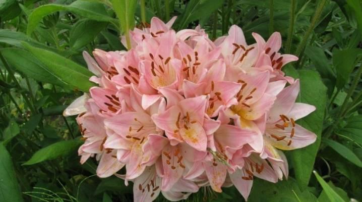Азиатская лилия мапира (lilium mapira): фото и описание сорта, отзывы, посадка и уход