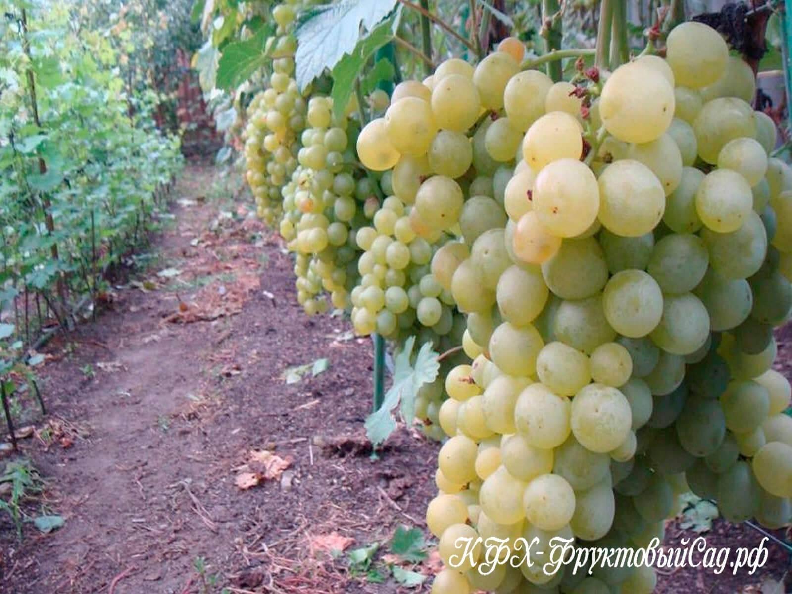 Виноград супер экстра: селекция, описание, особенности сорта, посадка и уход, достоинства, недостатки, отзывы
