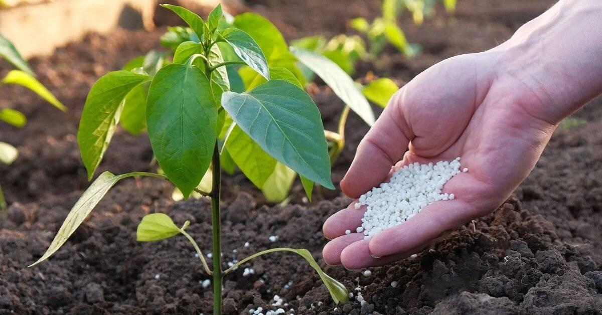 Чем подкормить рассаду перцев: 3 этапа