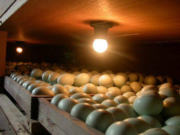Овоскопирование куриных яиц
